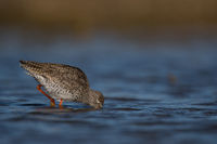 Common redshank Algarve Portugal