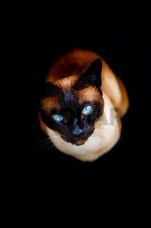 Thai cat on black background