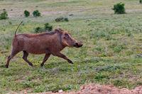 Warthog running wild in the grass