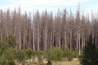 Dead spruce forest on the Kermeter in the Eifel National Park