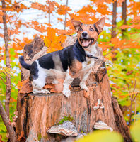 Dog Jack Russell Terrier for a walk in the park. Home pet. Dog walking in the park. Autumn Park.