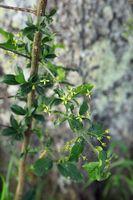 190530-32 Strauch Blüten PfaffenhütchenSpindle bush Euonymus europaeus.jpg