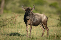 Blue wildebeest stands in grass watching camera