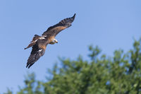 Red Kite flying, Milvus milvus