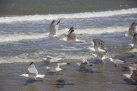 European herring gull in the surf zone