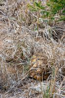 African Leopard Tortoise hiding underneath the grass