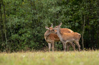 Red deer hind mother sniffing its fawn in summer on a meadow