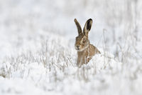 Brown Hare / European Hare * Lepus europaeus * sitting in snow, watching curious, looks funny