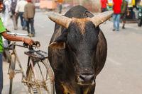 Cow sacred animal india