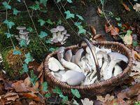 Mushroom basket with Oyster mushrooms