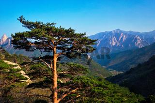 Tree in Seoraksan National Park, South Korea