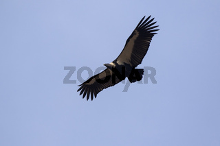 White-rumped Vulture flying in a blue sky on a winter sunny day