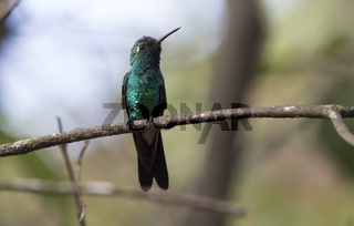 Cuban emerald male who sits on a dry branch in the shade on a sunny day