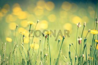 daisy flower bloom on a meadow in summer
