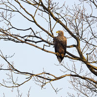 White-tailed Eagle * Haliaeetus albicilla * perched in a tree