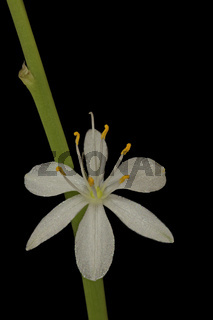 Gruenlilie (Chlorophytum comosum)