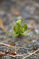 Japanese Giant Mantis