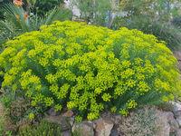 Steppenwolfsmilch, Euphorbia, seguieriana