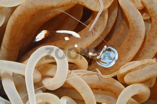 Magnificent Anemone Shrimp, Ancylomenes magnificus