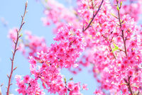 Pink Cherry Blosssom with blue sky