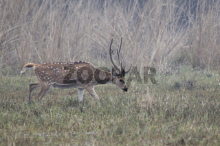 male Chital or spotted deer who grazes on a watered meadow on a winter morning in the fog