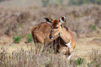 Mountain nyala, Ethiopia, Africa widlife