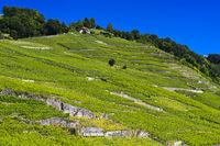 Terrassierter Weinberg in der Weinbauregion Lavaux
