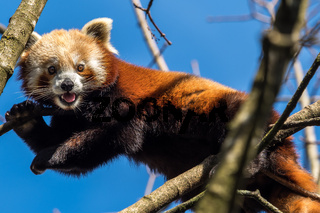 The red panda, Ailurus fulgens, also called the lesser panda.