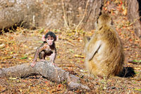 baboons, South Luangwa National Park, Zambia, (papio cynocephalus)