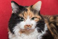 tricolor cat with velvety soft fur - portrait