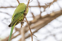 Rose-ringed Parakeet, Dubai, United Arab Emirates (UAE), Middle East
