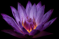 Purple Water Lily II