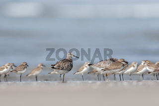 Ruff, Calidris pugnax at Akshi, Alibaug, Maharashtra, India
