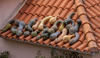 Kuerbisse liegen auf einem Dach zum trocknen