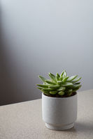 Pot with a Eucheanian succulent on a gray marble table