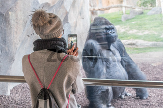 Woman taking photo of a huge silverback gorilla male behind glass in Biopark zoo in Valencia, Spain
