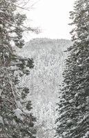 winter Landscape of Pine Forest