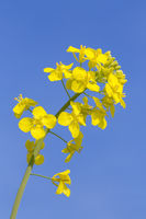 Macro photo of yellow rapeseed flower in blue sky