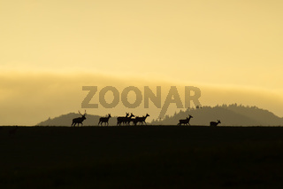 Herd of red deer with does and stag walking at the end at sunset on a horizon