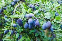 Blue plums in an orchard in the summer outdoors