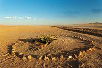 Welwitschia mirabilis desert plant, Namibia