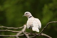 Eurasian collared dove, Streptopelia decaocto, Jhalana, Rajasthan, India.