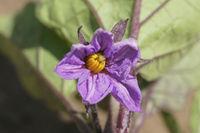 Solanum melongena, Aubergine, Eggplant, blossom