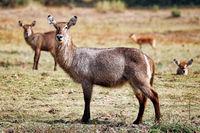 Waterbuck, Liwonde NP, Malawi, (Kobus ellipsiprymnus)
