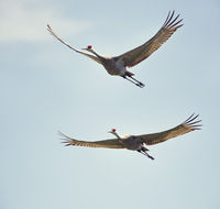 sandhill cranes in flight against the sky