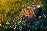 Old stump of a sawn tree trunk.