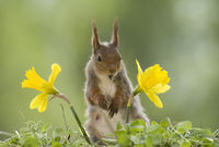 red squirrel is standing between narcissus
