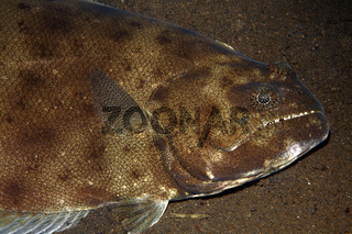 Indian Halibut, also known as Australian Halibut and Bigmouth Halibut, Psettodes erumei