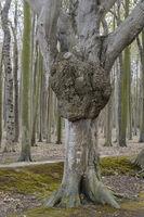 In the ghost forest near Nienhagen