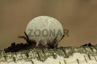 Birkenporling (Piptoporus betulinus)